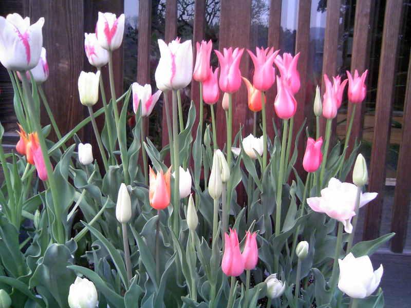 きれいに咲きました