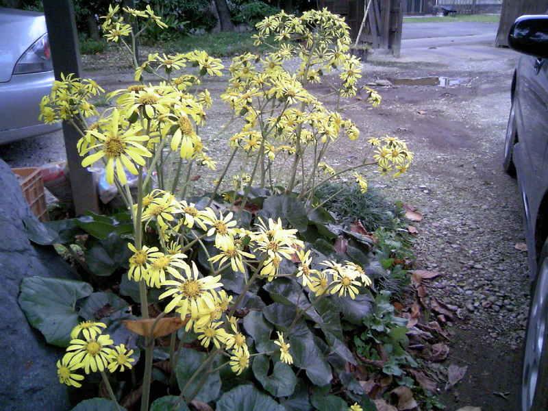 満開のつわぶきの花