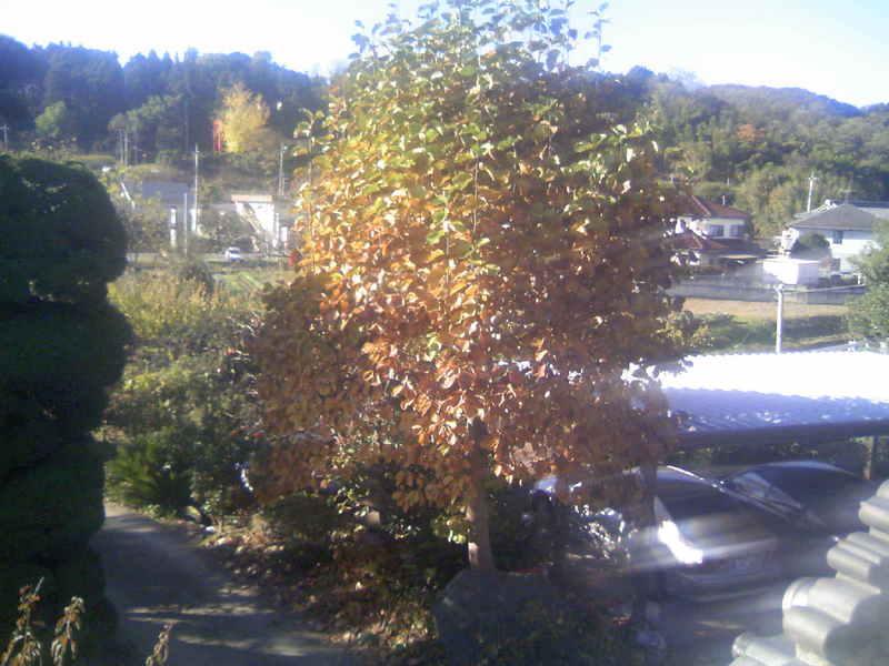 白木蓮の紅葉