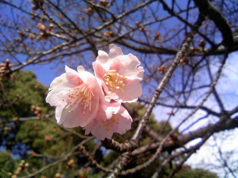 小石川植物園の寒桜