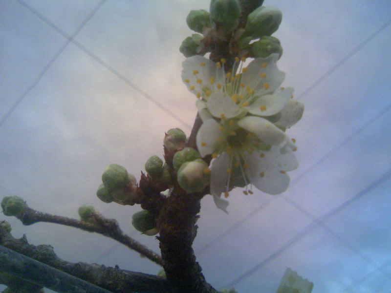 プラム貴陽の花