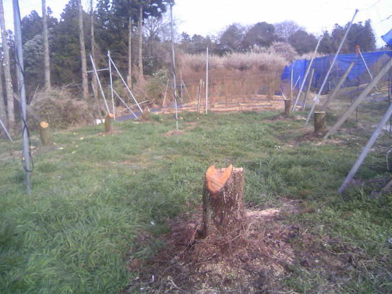 梨の木伐採