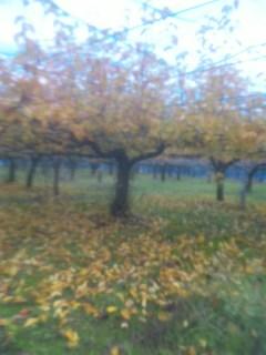梨の木の紅葉