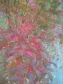 ブルーベリの紅葉