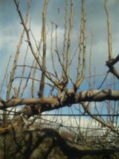 梨の木元気