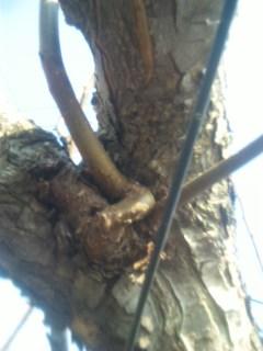 ど根性の枝