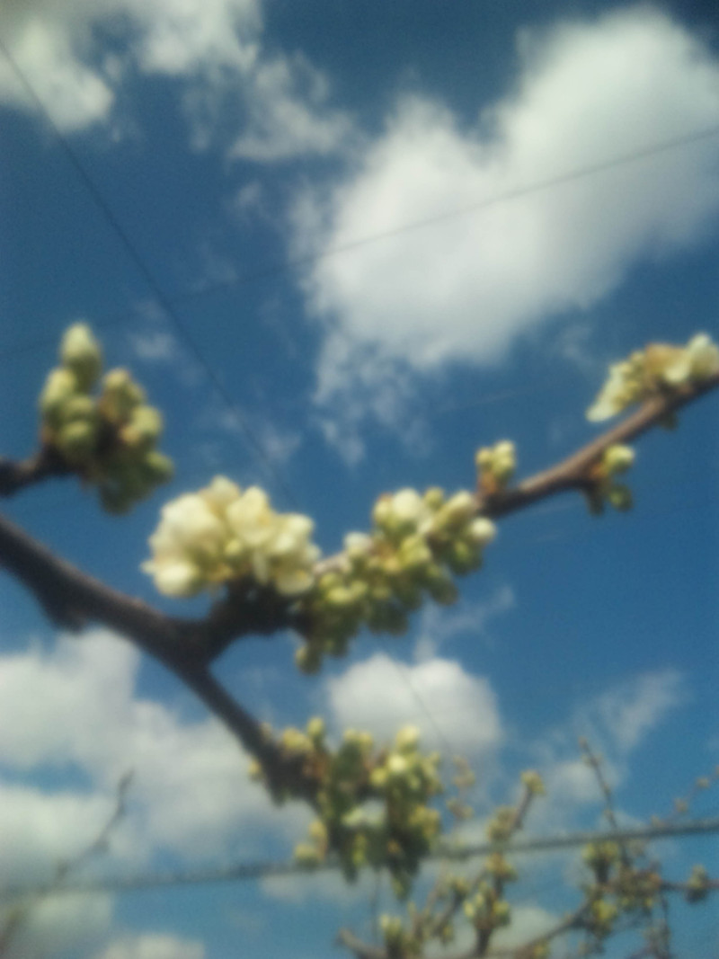 プラムの花